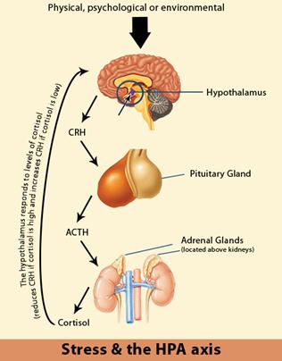 STRESS og HPA aksen