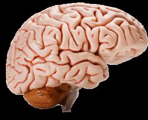 Stress krymper hjernen